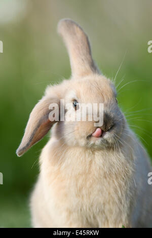 Mini lop-eared domestic rabbit with one ear up and one ear down, and tongue sticking out, Captive, Christchurch, - Stock Photo