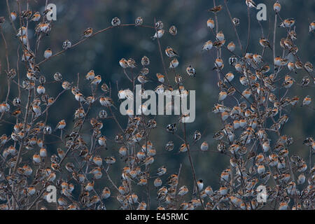 Flock of Bramblings (Fringilla montifringilla) perched together in branches. It's estimated that four  million individiuals - Stock Photo