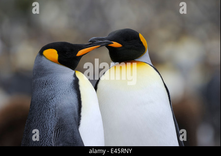 Two King Penguin (Aptenodytes patagonicus) touching with the beaks on Macquarie Island, sub Antarctic waters of - Stock Photo
