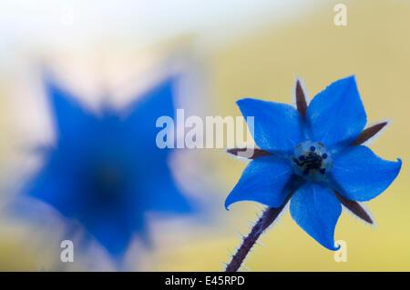Borage (Borago officinalis) flowers, Menorca, Balearic Islands, Spain, Europe - Stock Photo