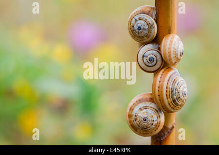 Brown-lipped / Grove / Banded snails (Cepaea nemoralis) on plant stem, Menorca, Balearic Islands, Spain, Europe - Stock Photo