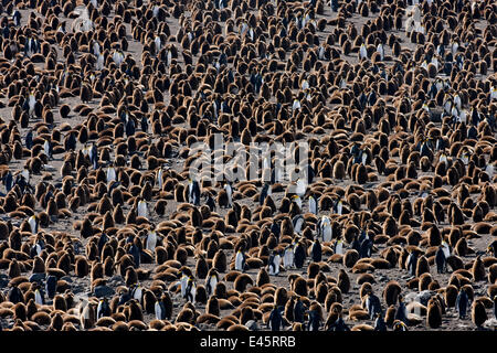 King penguin (Aptenodytes patagonicus) colony with adults and chicks. St Andrews Bay, South Georgia Island - Stock Photo