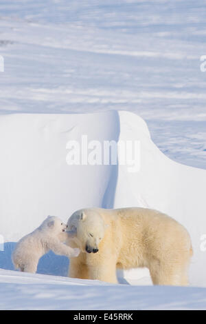 Polar bear (Ursus maritimus) sow plays with her spring cub outside their den in late winter, Alaska - Stock Photo