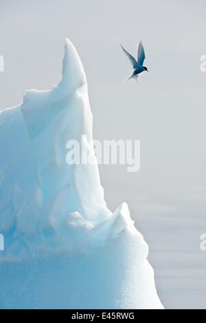 Arctic tern (Sterna Paradisaea) hovering in flight over an iceberg.Peterman Island, Antarctic Peninsula, Antarctica. - Stock Photo