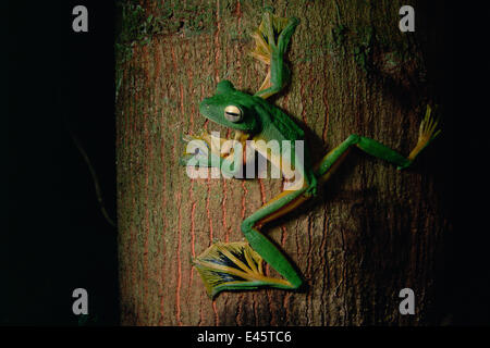 Wallace's flying frog (Rhacophorus nigropalmatus) on a tree trunk in the lowland rainforest, Danum Valley, Sabah, - Stock Photo