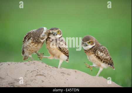 Two newly fledged burrowing owl chicks (Athene cunicularia) one being groomed by its mother (far left) Pantanal, - Stock Photo