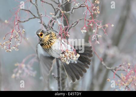 Fieldfare (Turdus pilaris) feeding on Rowan berries (Sorbus hupehensis) in winter, Perthshire, Scotland. WINNER: - Stock Photo