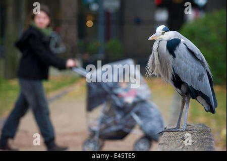Grey heron (Ardea cinerea) perched on stone wall  in urban park, with people walking behind, Paris. France, November. - Stock Photo