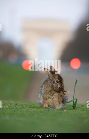 Rabbit  grooming, on grass in park, with the Arc de Triomphe behind, Paris, France, April 2010. - Stock Photo