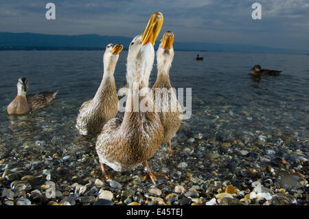 Mallard ducks (Anas platyrhynchos) females looking skyward together on the shore of Lake of Geneva, France, June. - Stock Photo