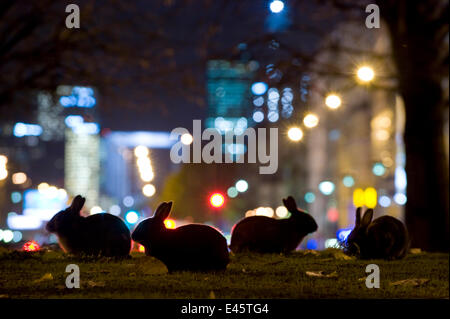 European rabbits (Oryctolagus cuniculus) at night in urban park near l'Arc de Triomphe, with Champs Elysées in background, - Stock Photo