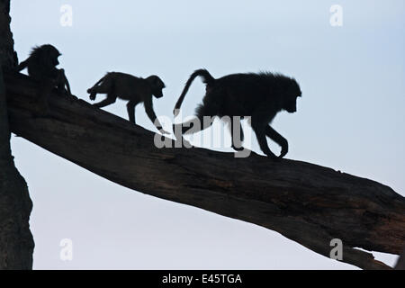 Olive baboons (Papio cynocephalus anubis) silhouetted and walking along a branch, Masai Mara National Reserve, Kenya. - Stock Photo