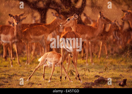 Impala herd (Aepyceros melampus) and female with suckling fawn in late afternoon rain, Masai Mara National Reserve, - Stock Photo
