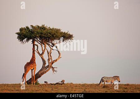 Southern / Masai giraffe (Giraffa camelopardalis tippelskirchi) feeding on tree while Plains / Common zebra passes - Stock Photo