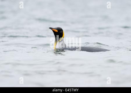 King Penguin (Aptenodytes patagonicus) swimming in water at Macquarie Island, sub Antarctic waters of Australia. - Stock Photo
