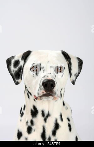 Dalmatian, head portrait, male aged 4 years. - Stock Photo