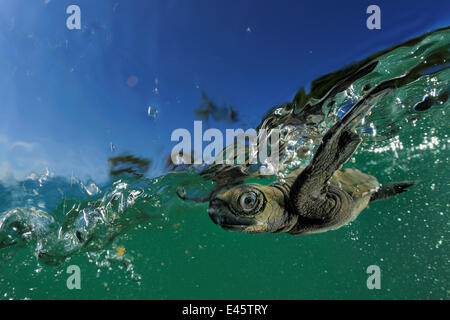 Baby Olive Ridley sea turtle (Lepidochelys olivacea) struggles against the swell to swim away from the beach where - Stock Photo