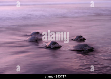 Mature female Olive ridley sea turtles (Lepidochelys olivacea) arriving on the beach of Ostional, Costa Rica, Pacific - Stock Photo