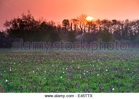 Sunrise over a meadow of Snake's Head fritillary (Fritillaria meleagris) wildflowers growing at North Meadow National - Stock Photo