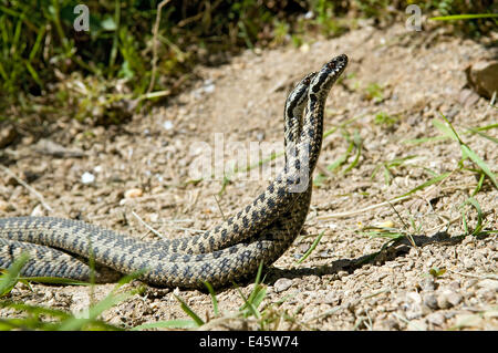 Two male Adders (Vipera berus) fighting / dancing during mating season, Captive, UK - Stock Photo