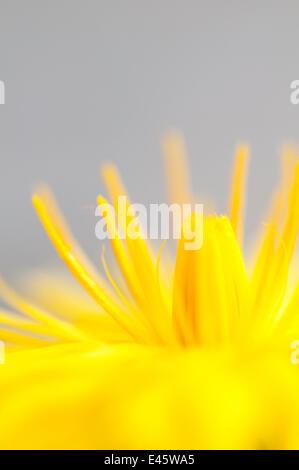 Dandelion (Taraxacum officinale) detail of petals, Lake District NP, Cumbria, England, UK. June - Stock Photo
