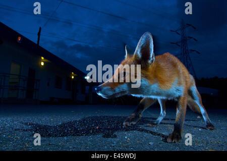 Urban fox (Vulpes vulpes) portrait in suburban street at night, London, England. - Stock Photo