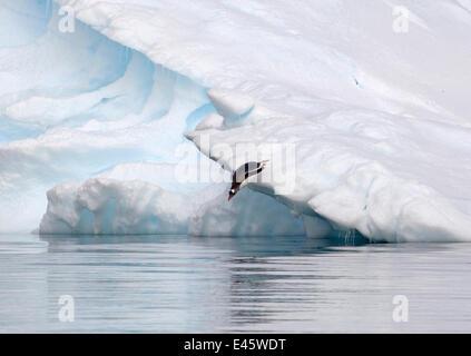 Gentoo Penguin (Pygoscelis papua) diving off iceberg and into waters of Pleneau Bay, Antarctica, November - Stock Photo