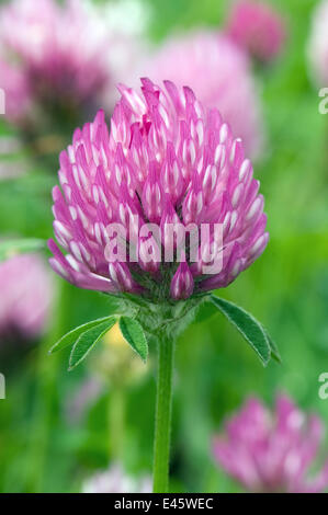 Red Clover (Trifolium pratense) close up of flower, Upper Teesdale, County Durham, England.  England, UK, June - Stock Photo