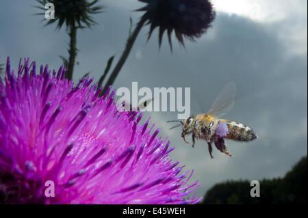 Honey bee (Apis mellifera) hovering over a purple flower. Paris, France - Stock Photo