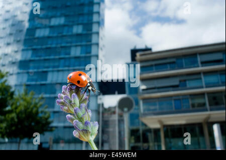 Seven-spot ladybird (Coccinella septempunctata) on a lavender flowerhead in a park, with buildings behind. Neuchatel, - Stock Photo