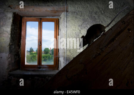 House mouse (Mus musculus) walking down sloping beam in light from a window. Switzerland. Captive, May. Property - Stock Photo
