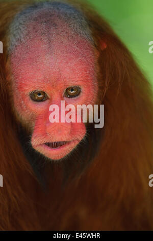 White bald-headed uakari (Cacajao calvus) head portrait. Amazon basin. Iquitos. Loreto. Peru, Captive - Stock Photo