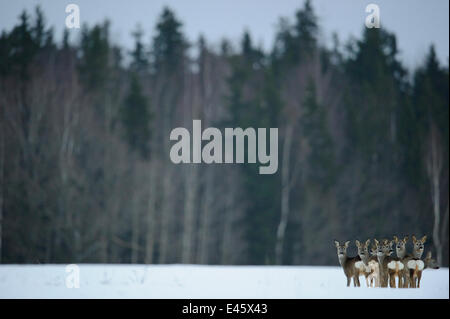 Small herd of Roe Deer (Capreolus capreolus) looking back at the photographer against forested background. Virumaa, - Stock Photo