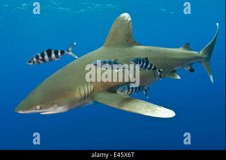 Oceanic whitetip shark (Carcharhinus longimanus) with Pilot fish (Naucrates ductor). Tropical West Atlantic Ocean, - Stock Photo