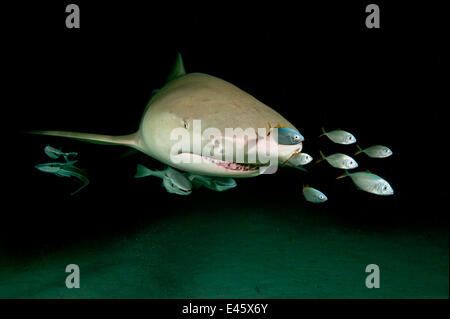 Lemon shark (Negaprion brevirostris) accompanied by Remoras (Echeneis naucrates) at night. Little Bahama Bank, Bahamas. - Stock Photo