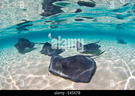 A school of Southern stingrays (Dasyatis americana) on a sand bar, Grand Cayman, Cayman Islands. British West Indies. - Stock Photo