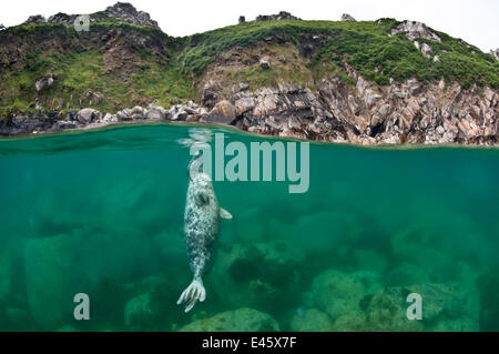 Atlantic grey seal (Halichoerus grypus) resting vertical beneath the surface, Lundy Island, Devon,  UK. July - Stock Photo