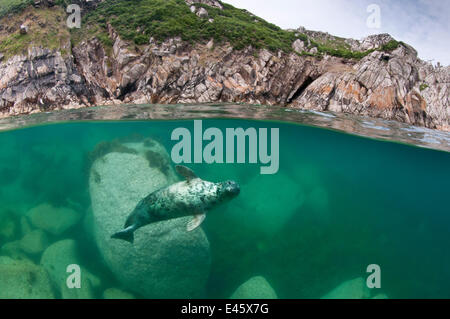Atlantic grey seal (Halichoerus grypus) swimming beneath the surface, Lundy Island, Devon, England, UK. July 2010 - Stock Photo