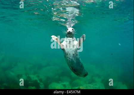Female Grey seal (Halichoerus grypus) startled. Lundy Island, Devon, England, UK. - Stock Photo