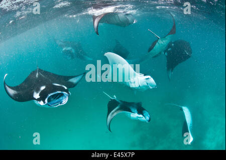 Group of Manta rays (Manta birostris) feeding together on plankton in a shallow lagoon. Hanifaru Lagoon, Baa Atoll, - Stock Photo