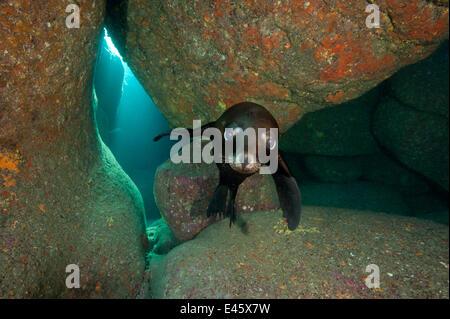 California sea lion pup (Zalophus californianus) portrait in a rocky underwater cave.  Baja California Mexico. Sea - Stock Photo