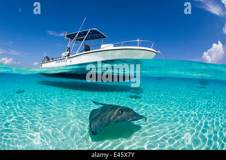 Spilt level view of a large female Southern Stingray (Dasyatis americana) beneath boat,  Cayman Islands. British - Stock Photo