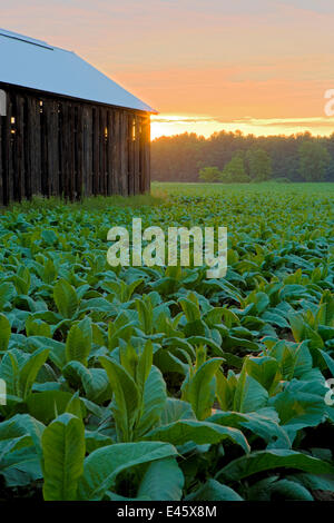 Barn in a field of tobacco (Nicotiana sp) at dawn, Hadley, Masaschusetts, USA, July 2007 - Stock Photo