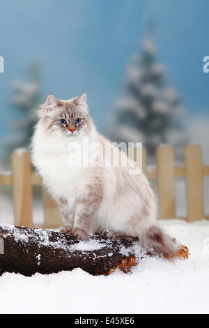 Neva Masquarade / Siberian Forest Cat, blue-silver-tabby-point coated, sitting on log in snow, with picket fence - Stock Photo