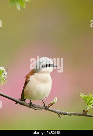 Red-backed Shrike (Lanius collurio) male perched on branch, Finland May - Stock Photo