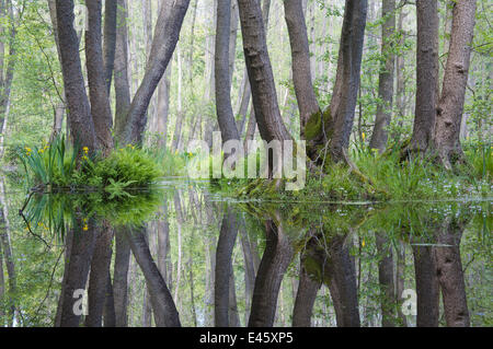 Alder trees (Alnus sp) reflected in standing water in nature reserve, Berlin, Germany, May 2009 - Stock Photo