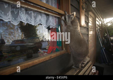 Raccoon (Procyon lotor) standing on a bench examining the window of a holiday home, Lake Myggelsee, Berlin, Germany, - Stock Photo