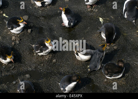 Looking down on Royal Penguins (Eudyptes schlegeli) incubating eggs on nests, Macquarie Island, Southern Atlantic, - Stock Photo