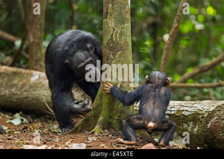 Western chimpanzee (Pan troglodytes verus)   female 'Fana' aged 54 years playing with her infant grandson 'Flanle' - Stock Photo