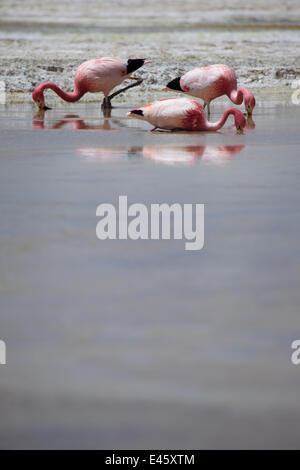 James' flamingos (Phoenicoparrus jamesi) on a laguna in the remote region of high desert, altiplano and volcanoes - Stock Photo